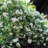 萬三の白モッコウバラ祭