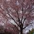 大府市の桜