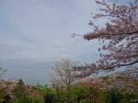南知多町の桜
