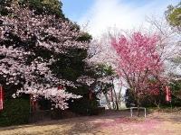 阿久比町の桜