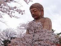 東海市の桜