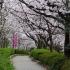 知多市の桜