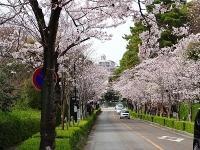 半田市の桜