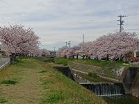 武豊町の桜