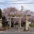 常滑市の桜