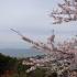 美浜町の桜